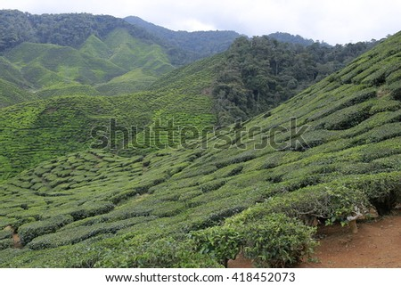 Nature tea plantation view near the mountain with beautiful view at Cameron Highlands, Malaysia. Image contain grain, noise and soft focus due nature composition. - stock photo