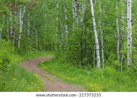 Nature Trail thru a happy forest of aspen & birch trees w/ distinctive white tree trunks yellow wild flowers border the path walking biking horse riding hiking running jogging cross country - stock photo