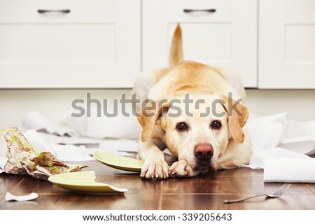 Naughty dog - Lying dog in the middle of mess in the kitchen. - stock photo