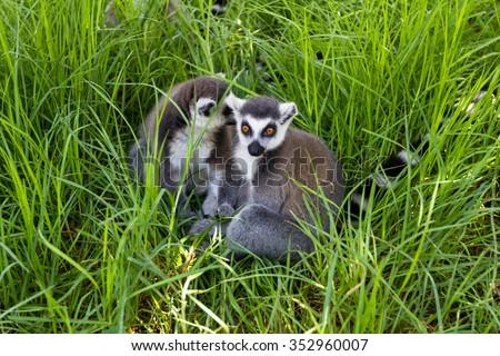 Naughty lemurs in the grass, Ring-tailed Lemur (Lemur catta) - stock photo