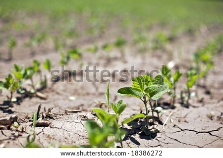 "Near drought conditions challenge spring crops of  ""Glycine max"" soybeans sprouts - stock photo"