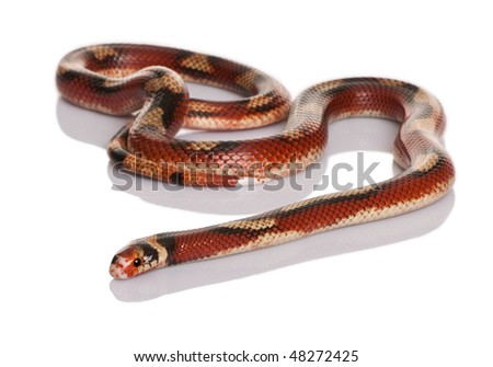 Nelson's Milkshake, Lampropeltis triangulum nelsoni, slithering against white background - stock photo