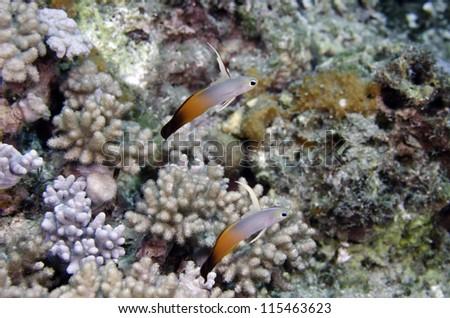 Nemateleotris magnifica - stock photo