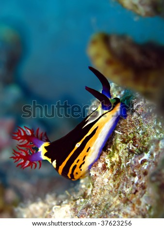 Nembrotha Nudibranch (Nembrotha megalocera) - stock photo