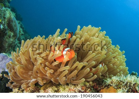 Nemo Fish - stock photo