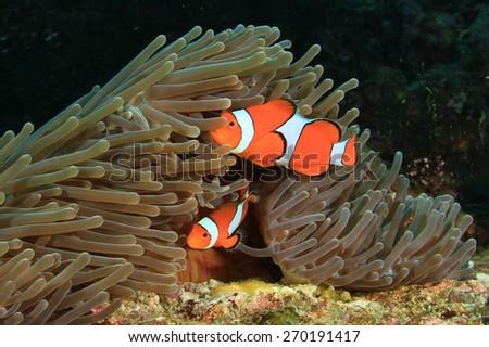 Nemo fish (Clown Anemonefish) - stock photo