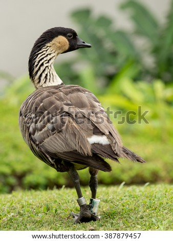 Nene or Hawaiian Goose (Branta sandvicensis), the Hawaiian state bird,  has recovered from its endangered status.  The population is now about 2500 birds, still the rarest goose species  in the world - stock photo