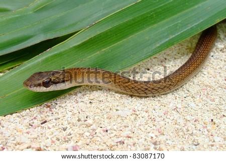Neotropical Whipsnake, Quintana Roo, Mexico - stock photo