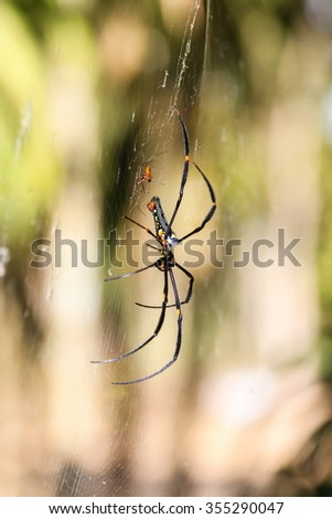 Nephila maculata, Spider - stock photo
