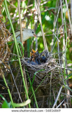 Nest of a Marsh Warbler (Acrocephalus palustris) with baby birds in the nature. - stock photo