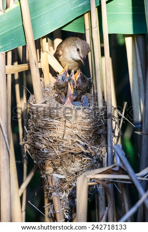 Nest of the Great Reed Warbler (Acrocephalus arundinaceus) in the nature. - stock photo