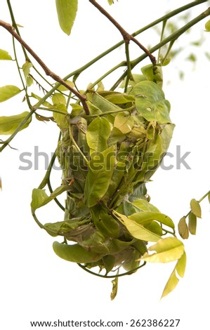 Nesting ant: ant leaves a certain amount the connected together to form a nest. - stock photo