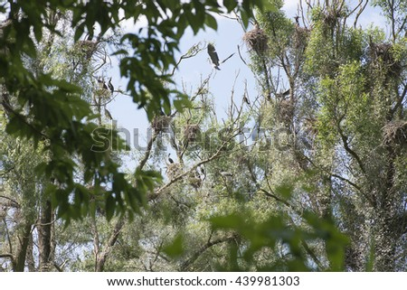 nesting gray herons Desna Ukreine - stock photo