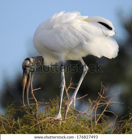 Nesting Woodstork in south Florida / Nesting Woodstork  - stock photo