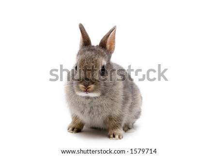 Netherland Dwarf bunny on white background - stock photo