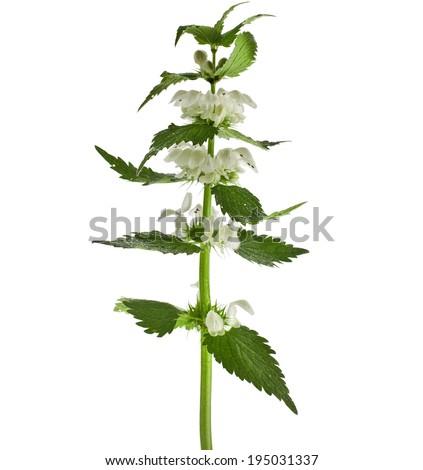 Nettle flowering  isolated on white background - stock photo