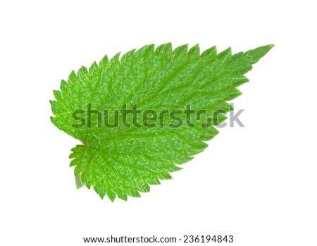 nettle leaf isolated on white - stock photo
