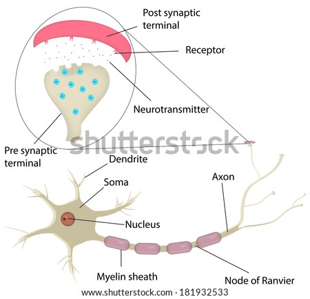 Neuron and Synapse Labeled Diagram - stock photo