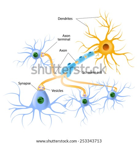 neurotransmitter release mechanisms. Neurotransmitters are packaged into synaptic vesicles transmit signals from a neuron to a target cell across a synapse. - stock photo