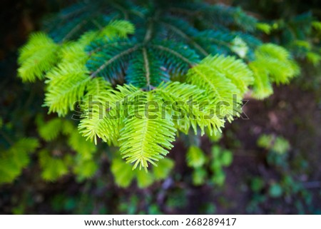 New and old pine leaves - stock photo