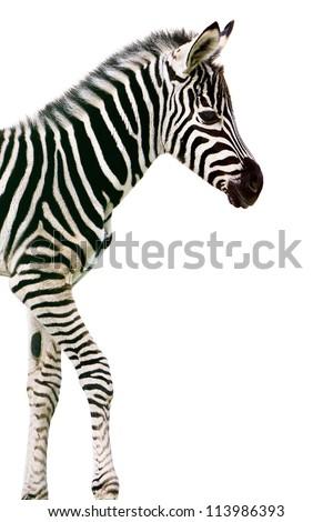 New born baby zebra isolated on white - stock photo