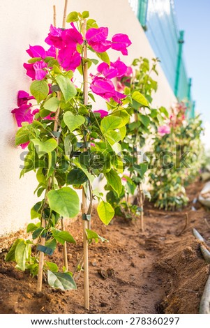New Bougainvillea and Jasmine plants being planted along a white boundary wall, the irrigation pipes and canes can be seen, the fertiliser will be added next. - stock photo