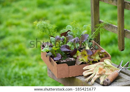 New Edible Plant Starters Ready to be put into Raised Beds - stock photo