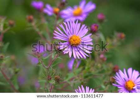 New England Aster flower - stock photo