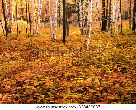 New England Forest Floor and Birch Trees in Autumn, Fall - stock photo