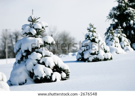 New fallen snow covers small blue spruce trees with a blanket of white. - stock photo