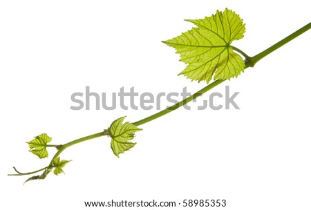 New grape vine leaf growth - isolated white background - stock photo
