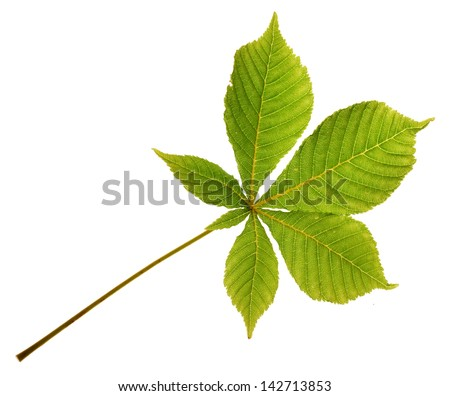 New green leaf from a horse chestnut tree isolated on a white background - stock photo