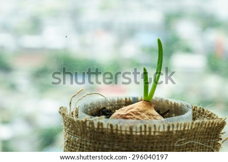new green leaf from onion means new life of plant seedling - stock photo