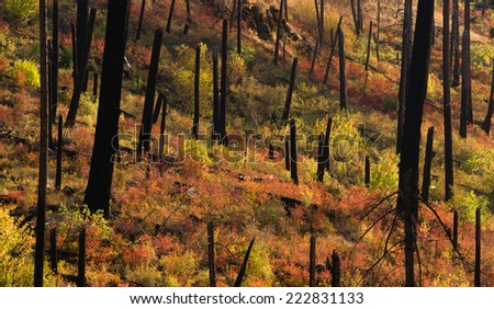 New Growth Begins After Forest Fire Burnt Bark Charred Trees - stock photo