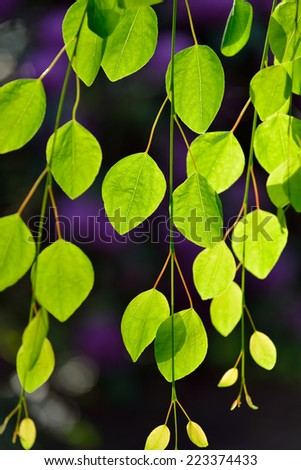 New Leaves of Weeping Katsura Tree - stock photo