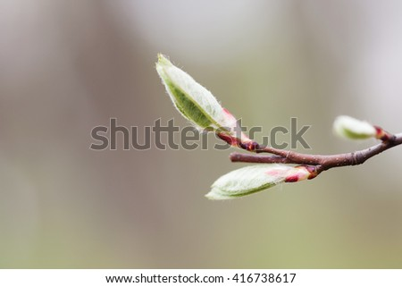 New life concept. Spring background with bud, embryonic shoot. fresh wooly leaves macro view. Dark red branch, gray abstract background. macro view, shallow depth of field - stock photo