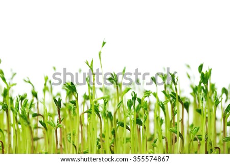 New life of  lentils - fresh little green spouts on white background, close up. Macro. Eco concept. - stock photo