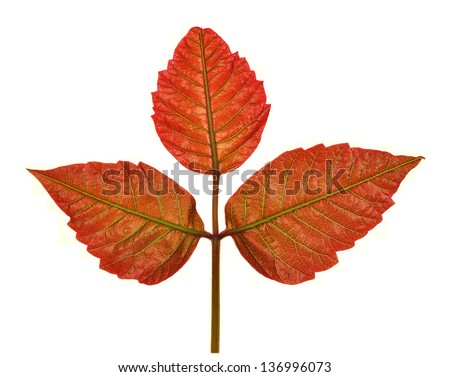 New Poison Ivy (Toxicodendron radicans) leaves as they appear in springtime isolated on a white background. - stock photo