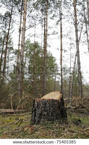 new stump in forest - stock photo