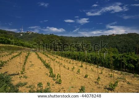 new vineyard - stock photo