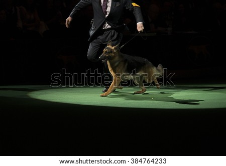 New York, NY - February 16, 2016: Best of herding group German shepherd runs at 140 Westminster Kennel Club dog show at Madison Square Garden - stock photo