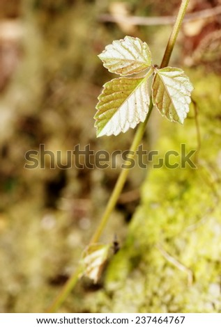 new young light green brown colorful leaves of creeping plant growing blooming on the tropical trees after rainy week under bright natural sunlight in jungle with natural bokeh background - stock photo
