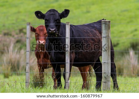 New Zealand cattle, cows on the farm - stock photo