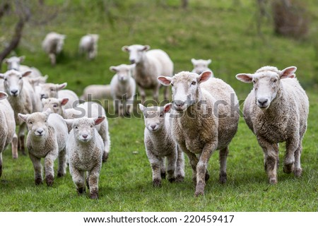 New Zealand farm sheep lambs - stock photo