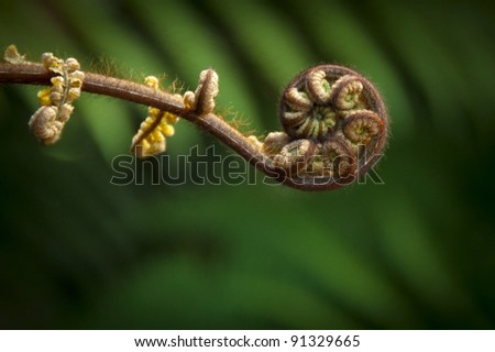 New Zealand fern (Maori symbol of renewal) - stock photo