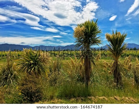 New Zealand Native Plants in a Vineyard. Cabbage Trees and Flaxes in foreground, Pinot Noir in background. Shot in Marlborough, New Zealand. - stock photo