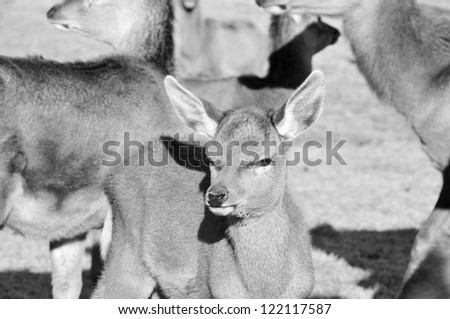 New Zealand red deer, Red deer are ruminants, characterized by an even number of toes, and a four-chambered stomach. - stock photo