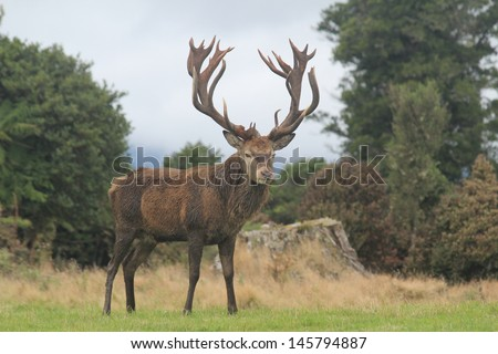 New Zealand Red Stag With Huge Rack - stock photo