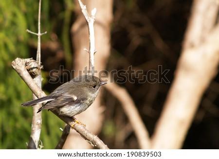 New Zealand robin, New Zealand - stock photo