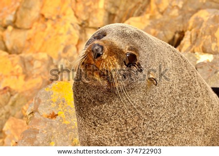 New Zealand Sea Lion, Phocarctos Hooker, with his head resting on the marine seaweed,South Island New Zealand - stock photo